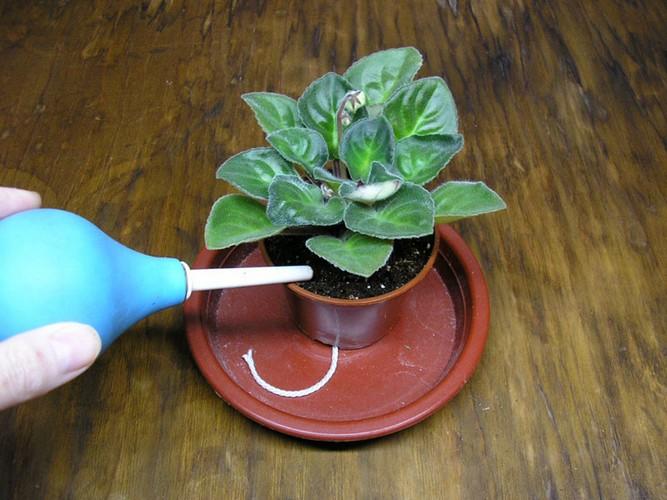Размножение фиалок листом в домашних условиях пошагово Размножение фиалок листом в домашних условиях пошагово