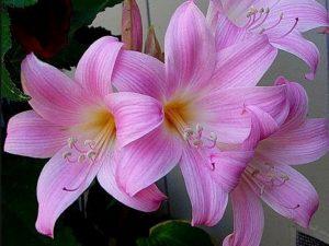 Гиппеаструм: уход в домашних условиях после цветения