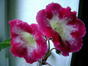 Глоксиния: когда убирать на зиму?
