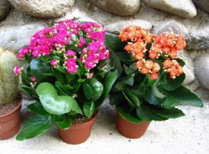 Цветок каланхоэ: уход в домашних условиях, фото