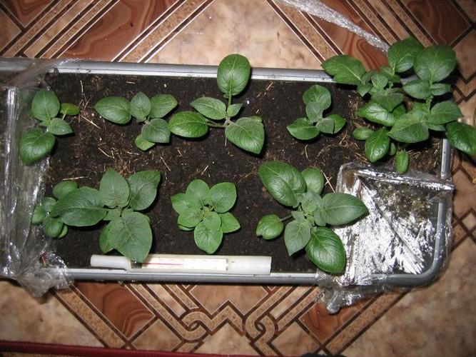 Посев семян картофеля на рассаду