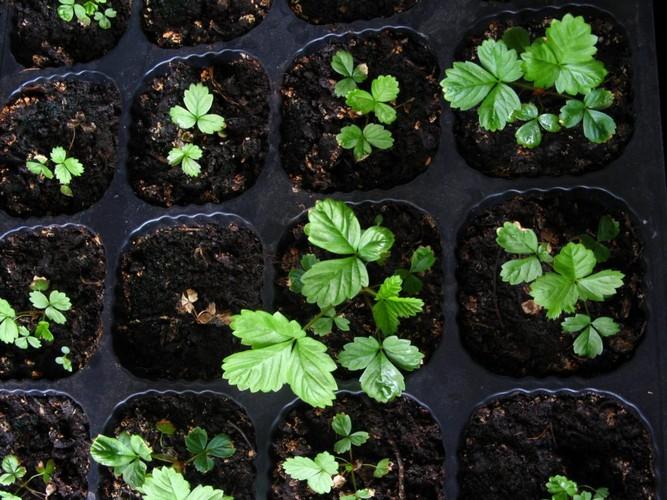Посев земляники семенами на рассаду