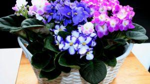 Комнатные цветы: фиалка уход в домашних условиях