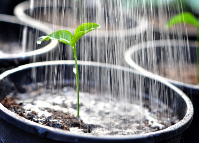 Как вырасти рассаду перца?