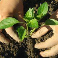 Вырастить рассаду перца в пеленках в домашних условиях