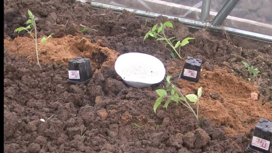 Посадка рассады помидор в теплицу