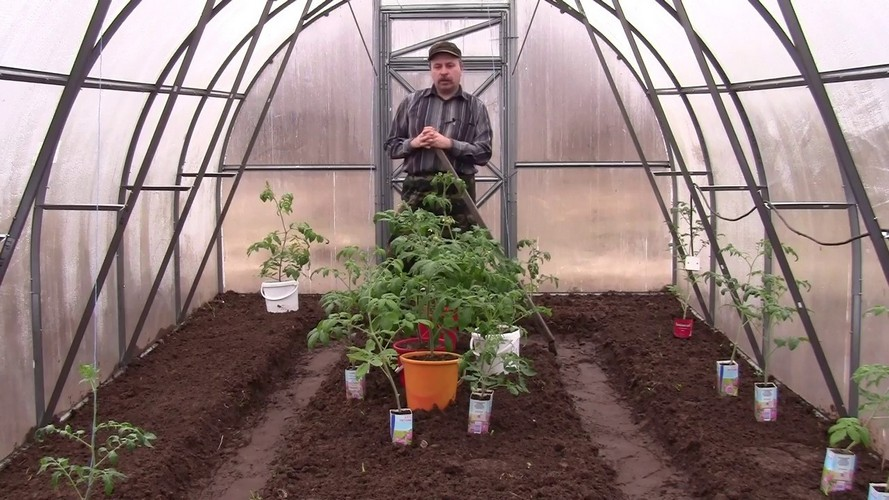 Как вырастить рассаду помидоров в теплице?
