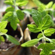 Вырастить рассаду помидоров из семян: советы и технология
