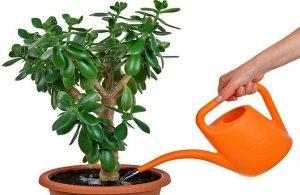 Толстянка денежное дерево: уход в домашних условиях