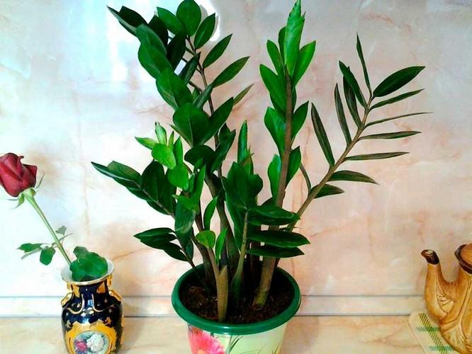 Родина замиокулькас комнатного растения
