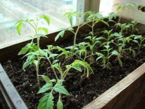 Выбор семян томатов на 2018 год