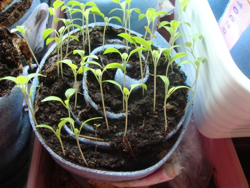 Выращивание рассады томатов в улитке видео