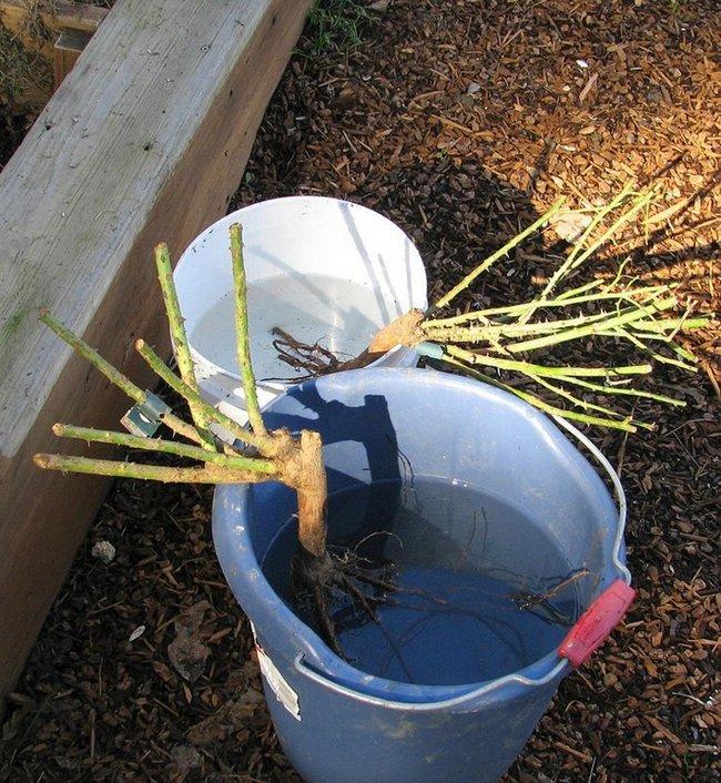 Замачивание семян в янтарной кислоте перед посадкой