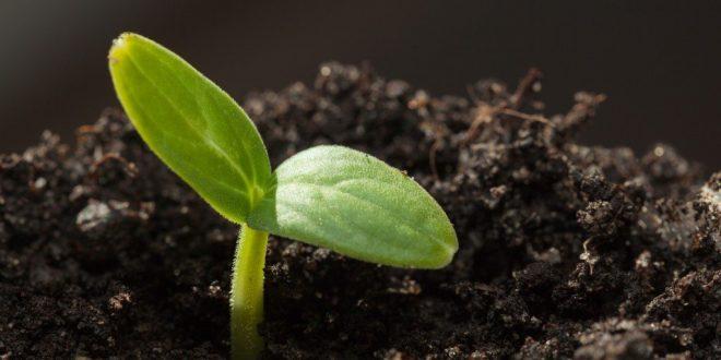 Семена замочить в горячей воде