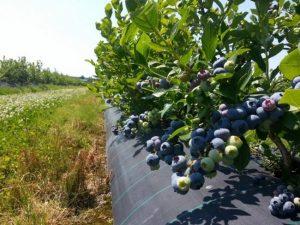 Голубика садовая посадка и уход фото отзывы