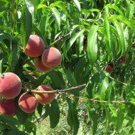 Обрезка деревьев весной видео для начинающих персика