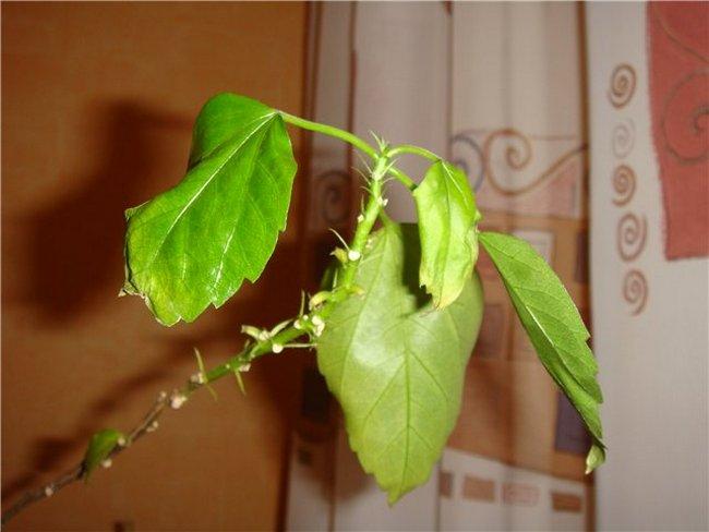 Почему гибискус сбрасывает листья