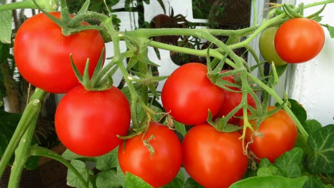 Посадка томатов и перцев на рассаду
