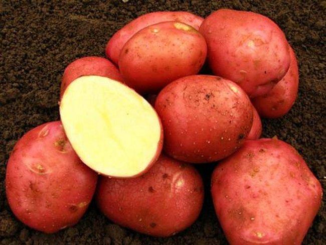 Какие сорта картофеля самые вкусные и урожайные