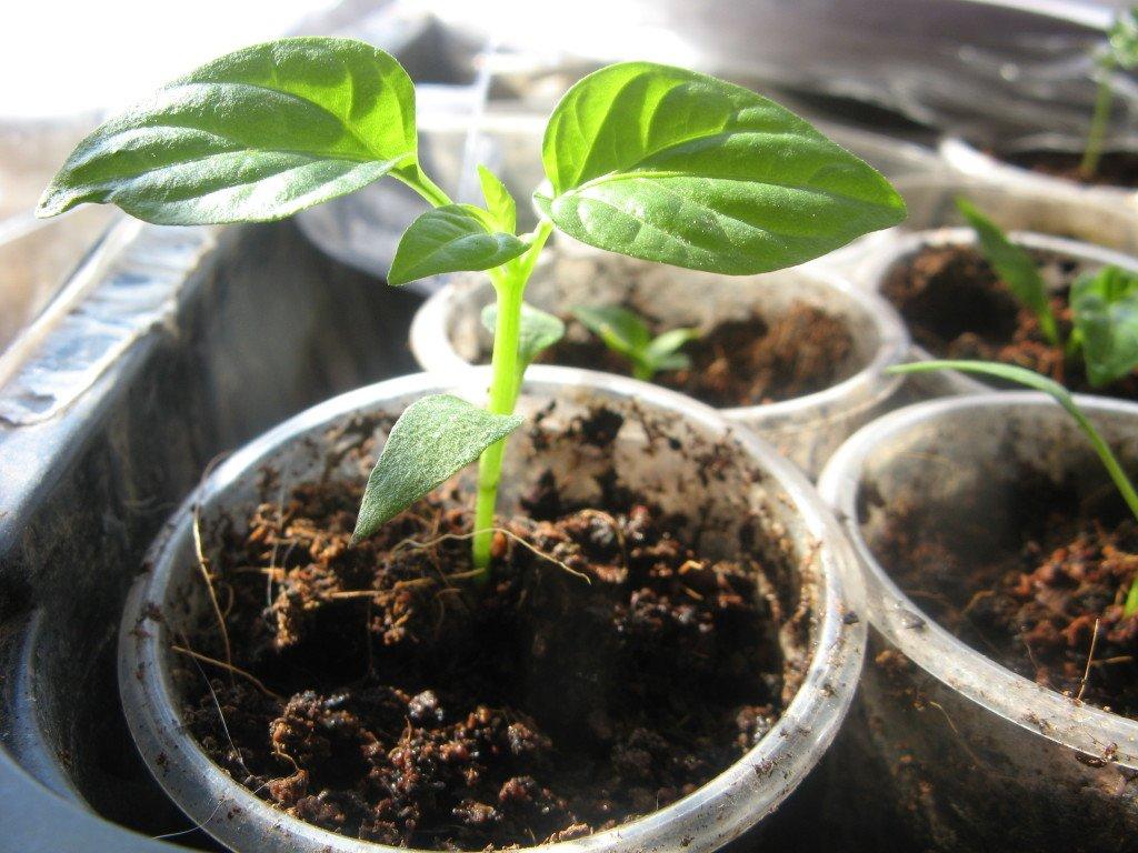 Удобрения для рассады помидор и перцев