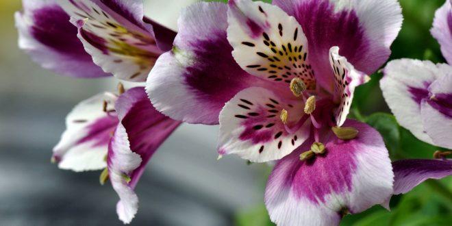 Альстромерия: посадка и уход за цветком в открытом грунте, теплице