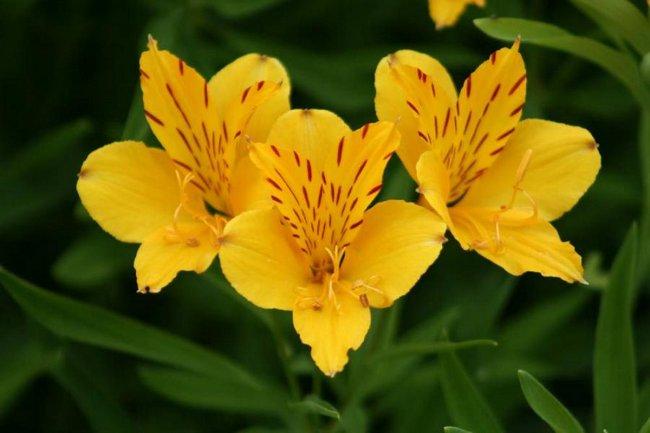 Цветок альстромерия выращивание