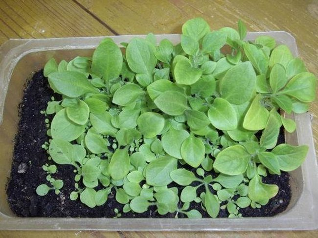 Маргаритки выращивание из семян когда сажать