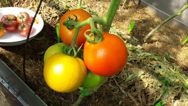 Низкорослые томаты не требующие пасынкования для теплиц