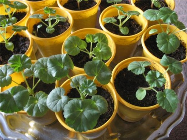 Пеларгония семенами посадка и уход