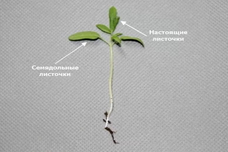 Строение растения баклажан