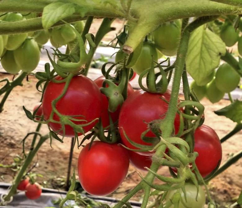 Когда пикировать помидоры в апреле 2018 года?
