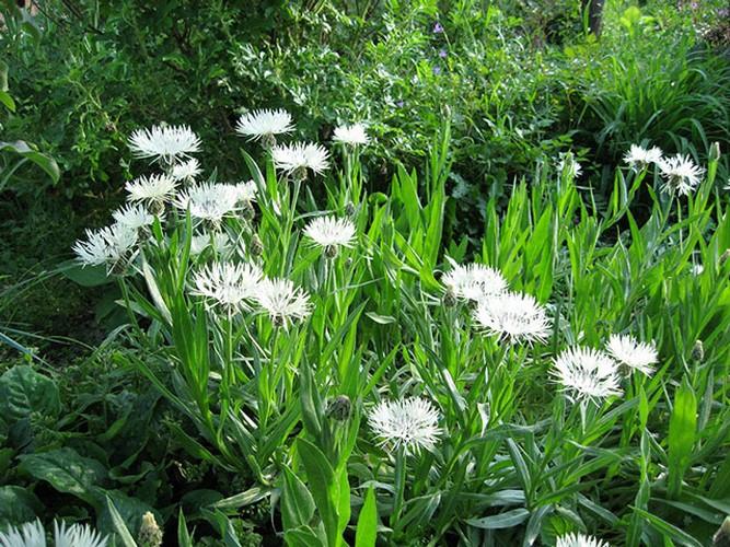 Васильки цветы: фото