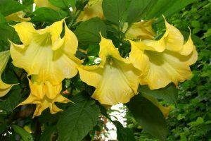 Бругмансия из семян в домашних условиях