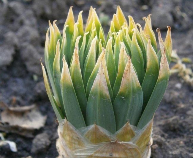 Цветок эремурус фото