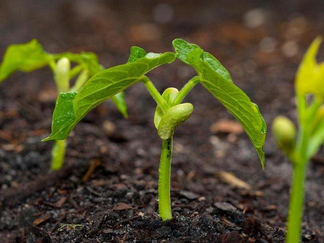 Фасоль спаржевая выращивание и уход в открытом грунте