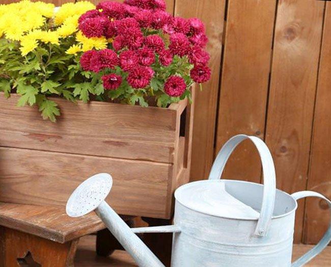 Хризантемы Мультифлора сорта и их описание с фото