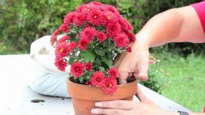 Хризантемы в горшках как ухаживать в домашних условиях