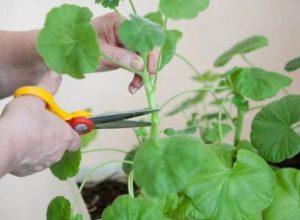 Как прищипывать герань чтобы она росла гуще