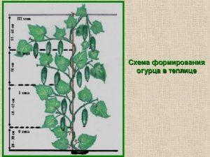 Как прищипывать огурцы в открытом грунте пошаговое фото