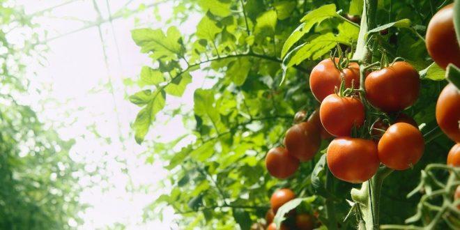 Формирование кустов томатов пасынкование и прищипка помидоров