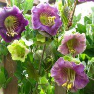 Кобея: посадка и уход фото, когда сеять семена