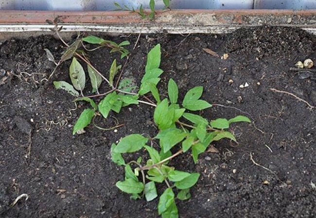 Кобея посадка и уход фото когда сеять семена