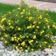 Обрезка лапчатки кустарниковой весной