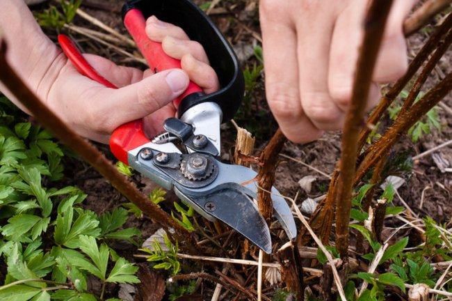 Обрезка малины весной как правильно ее делать