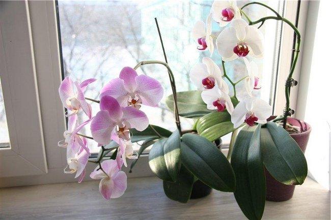 Орхидея уход в домашних условиях после покупки видео