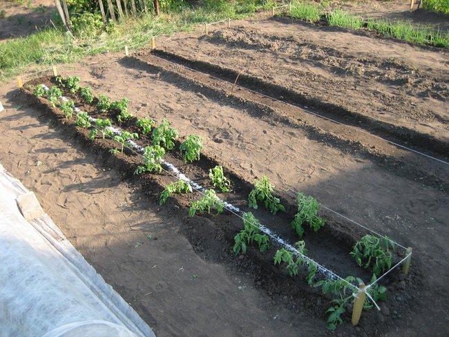 Посадка помидор в грунт рассадой в мае