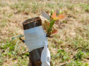 Прививка винограда весной сроки видео время прививки