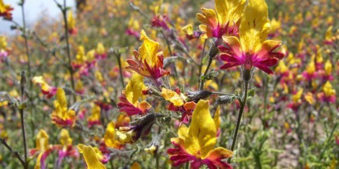 Схизантус выращивание из семян в домашних условиях
