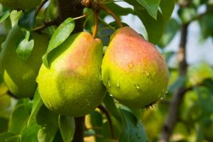 Высадка саженцев плодовых деревьев весной