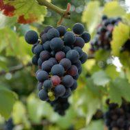 Высадка саженцев винограда в грунт весной